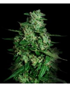 VIP Seeds – Northern Delights Auto Marijuana Seeds