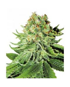White Label Seeds – Northern Light Automatic Marijuana Seeds