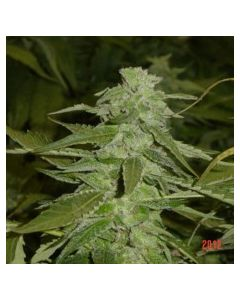 Jordan of The Islands – God's Northern Lights Marijuana Seeds
