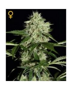 Green House Seeds - Northern Lights Automatic