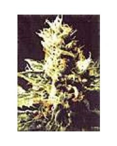 High Quality Seeds - Northern Pride