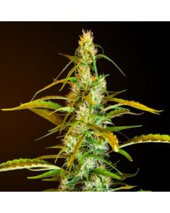 Royal Dutch Genetics Seeds – Ochorios Cannabis Seeds