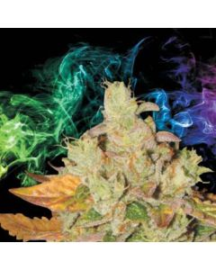 LA Sativa – Orange Diesel v3 Marijuana Seeds