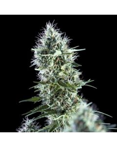 Genehtik Seeds – OG Lemon Bilbo Cannabis Seeds
