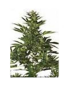 High Quality Seeds - Original Cali Orange Skunk