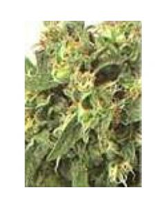High Quality Seeds - Original Highway Delight