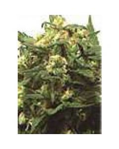 High Quality Seeds - Original Hawaiian Maui Wowie