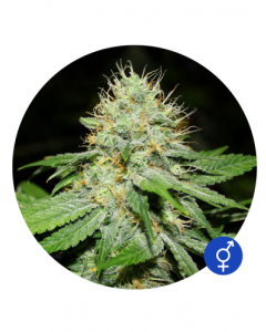Bulldog Seeds – Original Afghan Cannabis Seeds