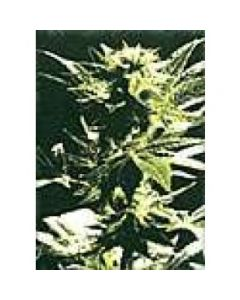 High Quality Seeds - Outsider