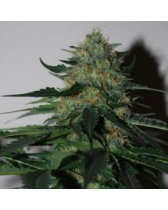 Black Skull Seeds – Pineapple Gum Marijuana Seeds