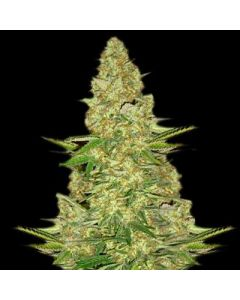 VIP Seeds – Power VIP Marijuana Seeds