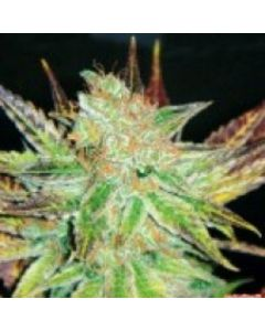 Medical Seeds – Prozack Marijuana Seeds