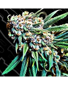 Critical Mass Collection – Psychotropic Mass Cannabis Seeds