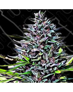 Critical Mass Collection – Purple Skunk Mass Cannabis Seeds