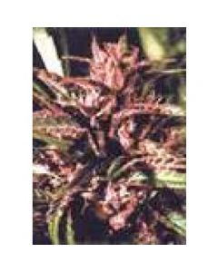 High Quality Seeds - Purple Tops