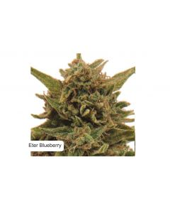 Dispensario Seeds – Eter Express Marijuana Seeds