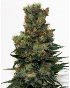 Ripper Seeds – Badazz Marijuana Seeds