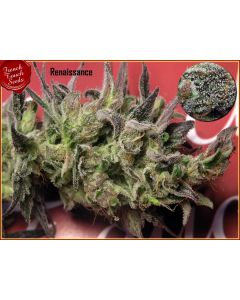 French Touch – Renaissance Marijuana Seeds