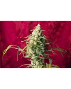 Reggae Seeds – Respect Marijuana Seeds