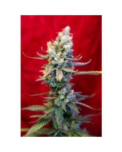 Reggae Seeds – Revolution Marijuana Seeds