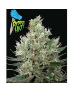 Ripper Seeds – Ripper Haze Marijuana Seeds