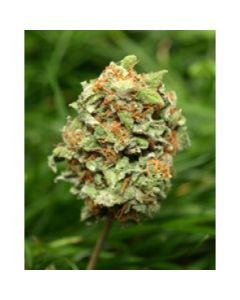 Taylor'd Genetics Seeds – Rocky Mountain High Marijuana Seeds