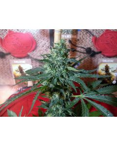 French Touch – Sativa des Rois Marijuana Seeds