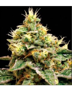 Reserva Privada - Confidential Cheese Cannabis Seeds