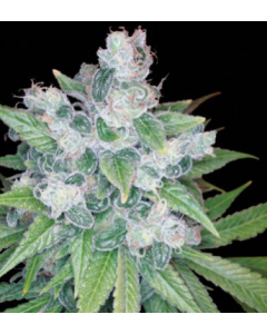 Reserva Privada - Kandy Kush Cannabis Seeds