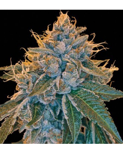 Reserva Privada - Kosher Kush Cannabis Seeds