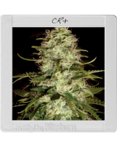 Blim Burn Seeds - CR+ Cannabis Seeds