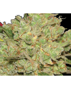 Lady Sativa – Exodus Fuel Cannabis Seeds