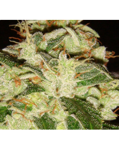 Lady Sativa – Knightsbridge O.G Cannabis Seeds