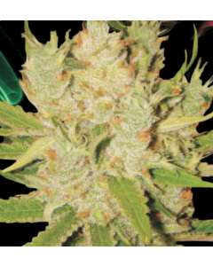 Lady Sativa – Knightsbridge O.G Haze Cannabis Seeds