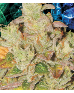 Lady Sativa – Orange Diesel Cannabis Seeds