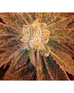 TGA Seeds – 9Lb Hammer Cannabis Seeds