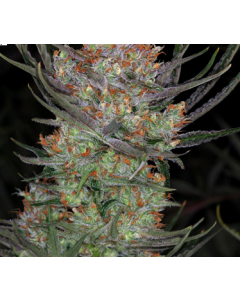 TGA Seeds – Bryan Berry Cough Cannabis Seeds