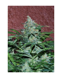 World of Seeds – Amnesia Auto Cannabis Seeds
