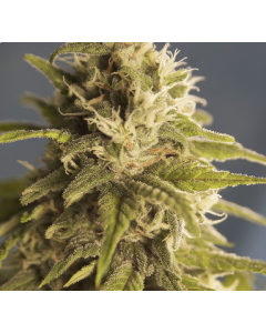 House of the Great Gardener – GG #1 Cannabis Seeds