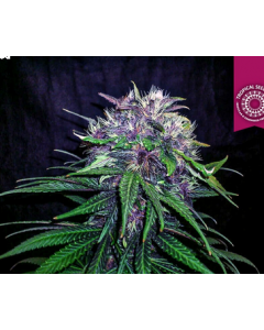 Tropical Seeds – Red Afro Cannabis Seeds