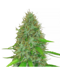 Heavyweight Seeds – 2 Fast 2 Vast Auto Cannabis Seeds