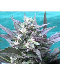 Grand Daddy Purp – Bay Lotus Cannabis Seeds