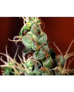 Kaliman Seeds – Nitro Express Marijuana Seeds