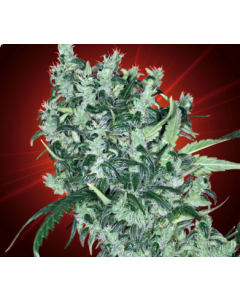 Kaliman Seeds – Cheese Tease Marijuana Seeds