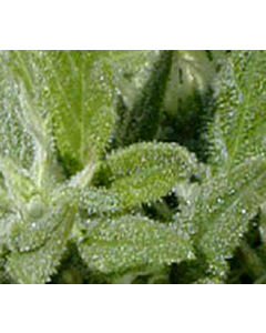 Goodhouse Seeds – Special A.K #2 Cannabis Seeds