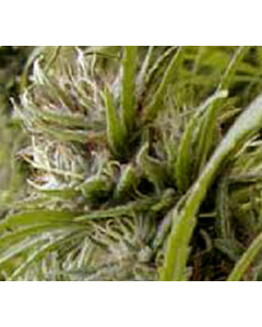 Goodhouse Seeds – Timanfaya Haze Cannabis Seeds