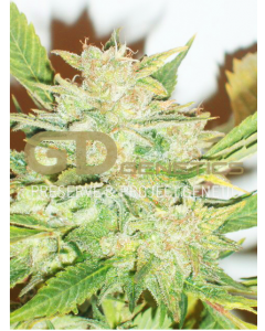 Green Devil – Durweiss Cannabis Seeds