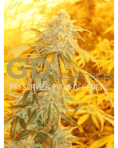 Green Devil – Orange Kush Cannabis Seeds
