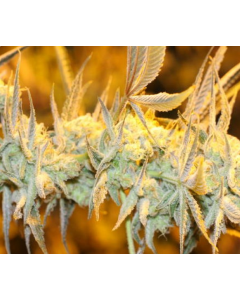 Bodhi Seeds – Apollo 11 Genius Marijuana Seeds