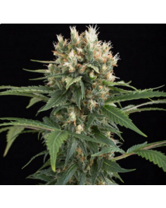 Dinafem Seeds – Blue Thai Marijuana Seeds